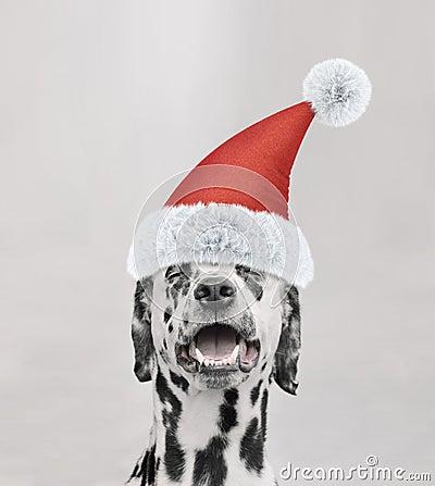 Free Santa Claus Dalmatian Dog With New Year Cap And Happy Face Royalty Free Stock Photos - 103809598