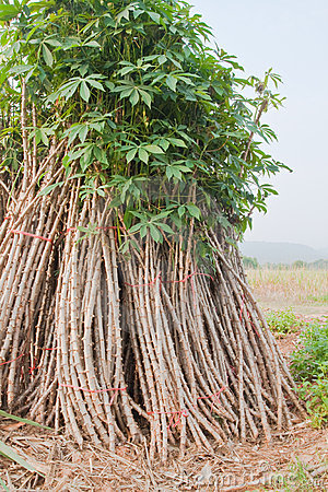 Sapling of cassava for Cultivate