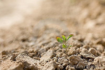 Sapling In Dry Soil Stock Images - Image: 12828184