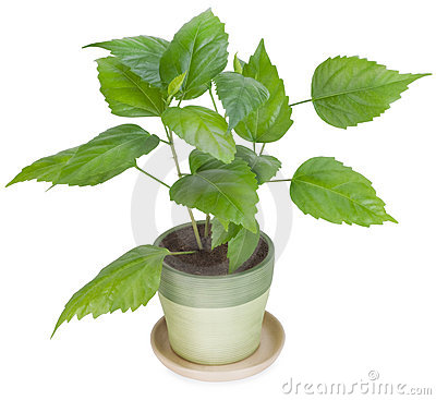 Sapling a favourite indoor plant