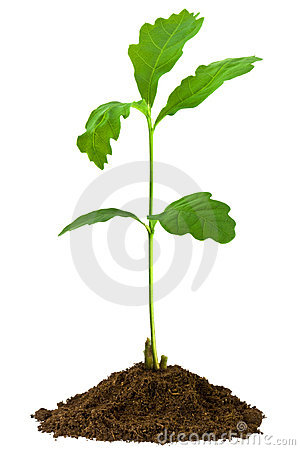 Free Sapling Oak, Isolated On A White Background Stock Photography - 12363082