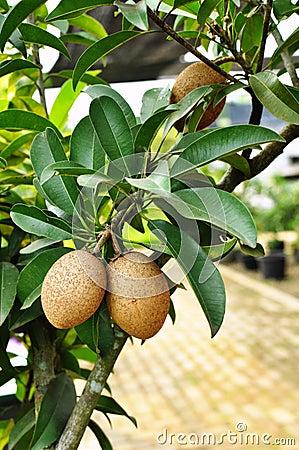 un fruitier pas de chez nous par blucat (10 juillet) trouvé par ajonc Sapotille-fraîche-sur-l-arbre-20485719