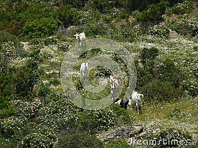 Sardinia landscape with goats