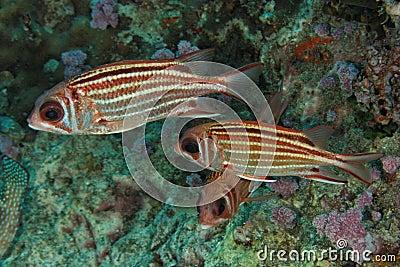 Sargocentron praslin - Andaman Sea