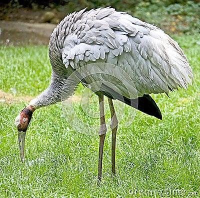Sarus crane 3