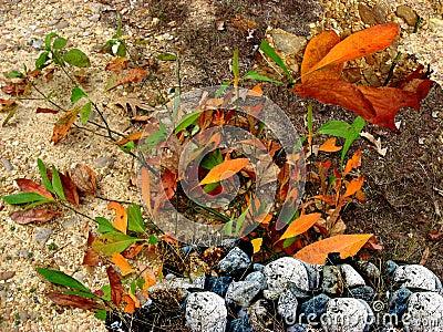 Sassafras Leaves with Rocks