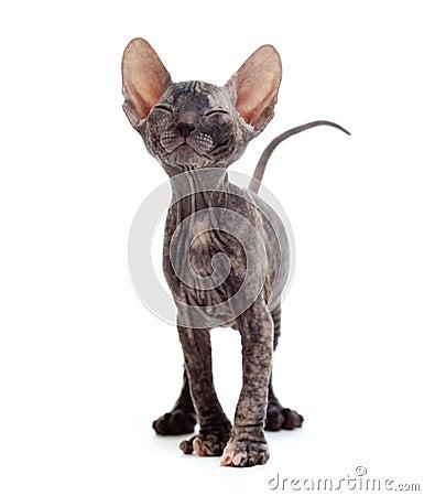 Satisfied hairless sphynx kitten