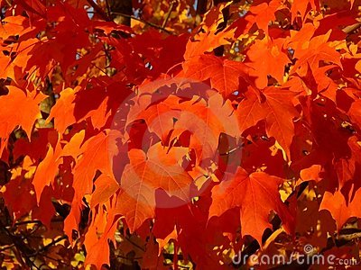 Saturated Maple Leaves Background