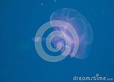 Saucer jelly