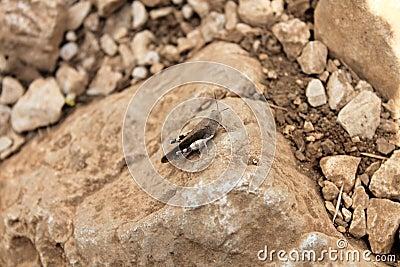 Sauterelle sur une roche