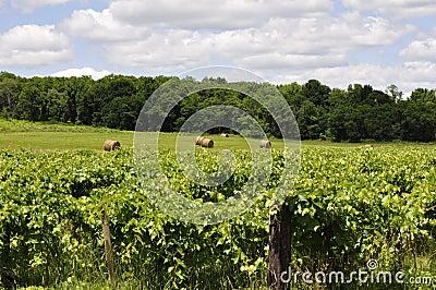Sauvignon Blanc Orchards