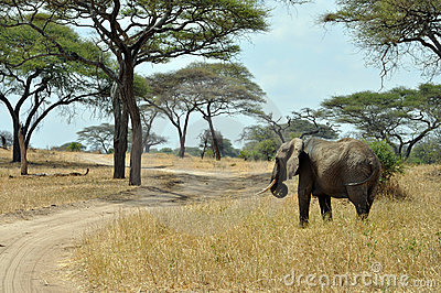 Savana landscape with elephant