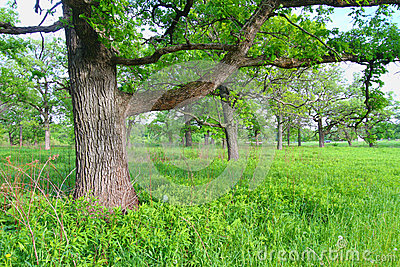 Savanna della quercia in Illinois