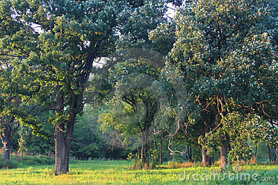 Savanna do carvalho de Illinois