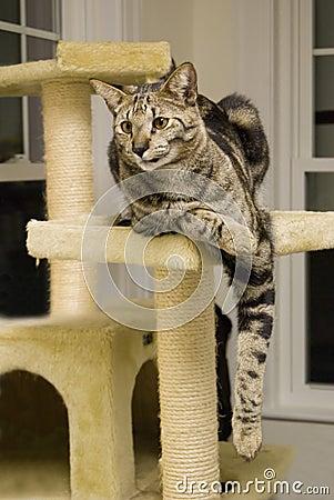 Free Savannah Cat Stock Image - 4452301