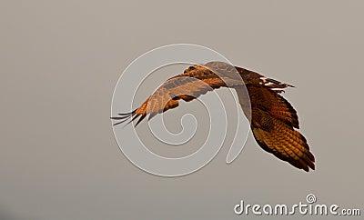 Savannah Hawk in flight