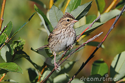 Savannah Sparrow Stock Photography - Image: 23081742