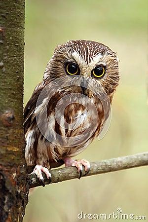 Free Saw-Whet Owl Royalty Free Stock Photo - 11534915