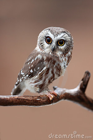 Free Saw-Whet Owl Stock Photography - 13715642