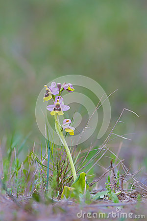 Free Sawfly Orchid In Grassland Royalty Free Stock Images - 57219919