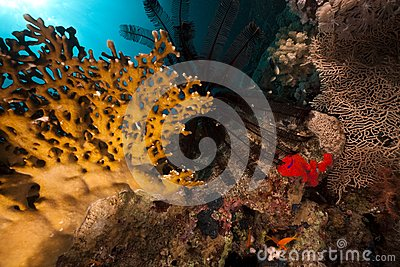 Sawtoothed feather star and fish