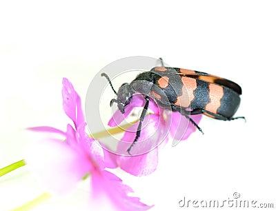 Sawyer beetle