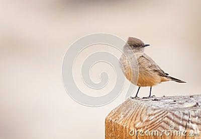 Say s Phoebe Bird