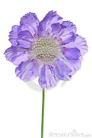 Free Scabiosa Stock Photography - 49794032