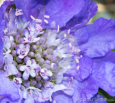 Free Scabiosa Bloom Royalty Free Stock Photography - 58711367