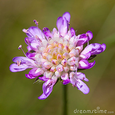 Free Scabiosa Columbaria Royalty Free Stock Photography - 26769557