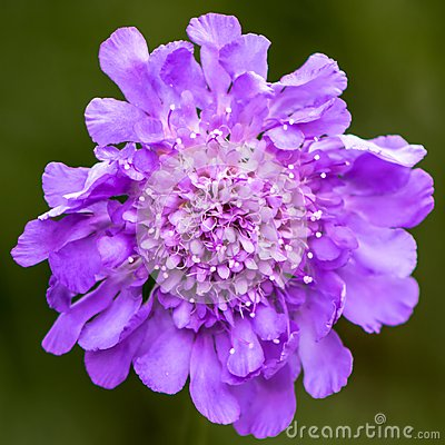 Free Scabiosa Fully Flowering, Attracts Insects Stock Photo - 118736680