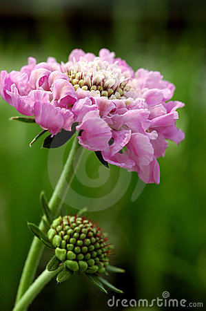 Free Scabiosa Pink Mist Stock Images - 431614