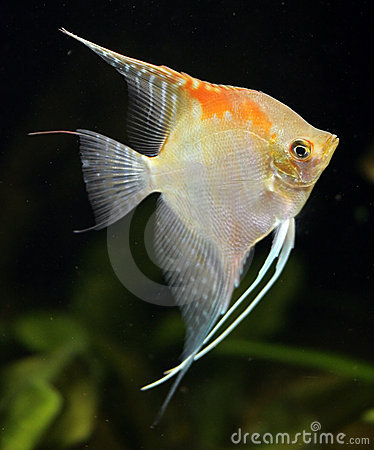 Free Scalare Fish 2 Stock Photo - 2442590