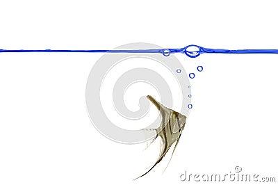 Scalare fish. Blue waterline.
