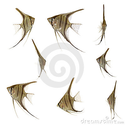 Free Scalare Fish Collection Stock Photography - 3192222