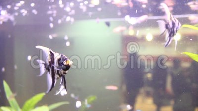 Scalare Pterophyllum сток-видео