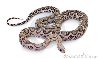 Scaleless corn snake or red rat snake