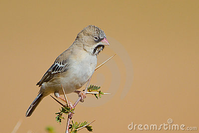Scaley Headed Finch