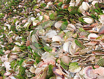 Scallop seashells