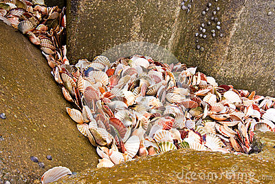Scallop seashells between rocks