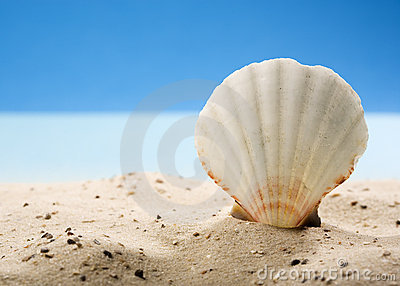 Scallop shell  in sand at beach