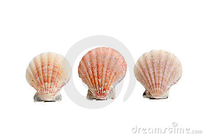 Scallops/sea shells on a white background