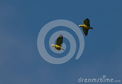 Scaly-naped Parrots on flight