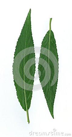 Free Scanarray Two Long Young Green Leaves Of A Tree Stock Images - 55102484