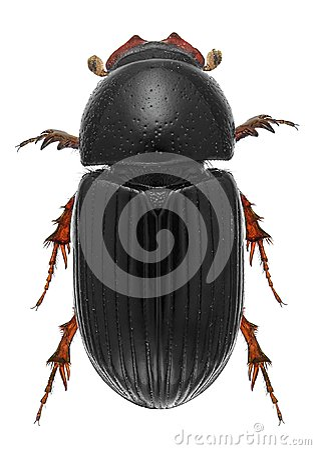 Free Scarab Beetle Stock Photo - 101438060