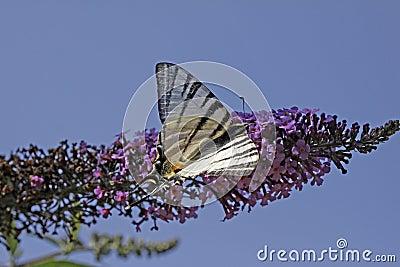 Scarce Swallowtail on Buddeja
