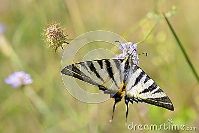 Scarce Swallowtail butterfly on flower