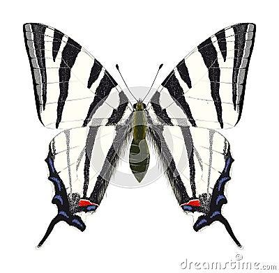 Scarce Swallowtail. Vector