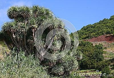 Scarcely Dragon trees (Dracaena), Canary Islands, Spain