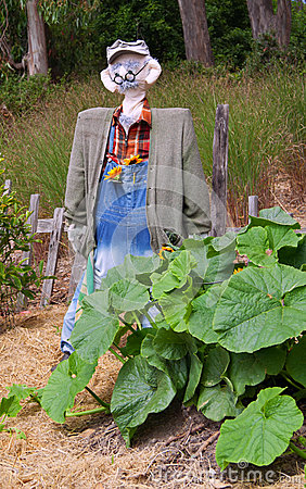 Scarecrow and pumpkin plant